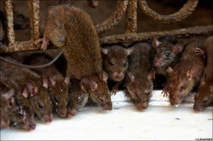 Baltimore County Rat Control Program